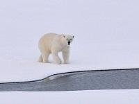 polar bear 1574996 640